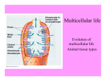 Multicellular life Evolution of multicellular life Animal tissue types