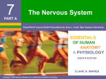 7 The Nervous System ESSENTIALS OF HUMAN