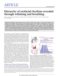 ARTICLE Hierarchy of orofacial rhythms revealed through whisking and breathing