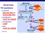 Cellular Respiration Oxidation of Pyruvate Krebs