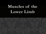 Muscles Of the lower limb_castex - Mater Academy Charter Middle