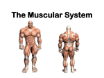 Muscular System- Powerpoint