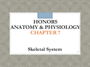 Chapter 7 - skeletal system