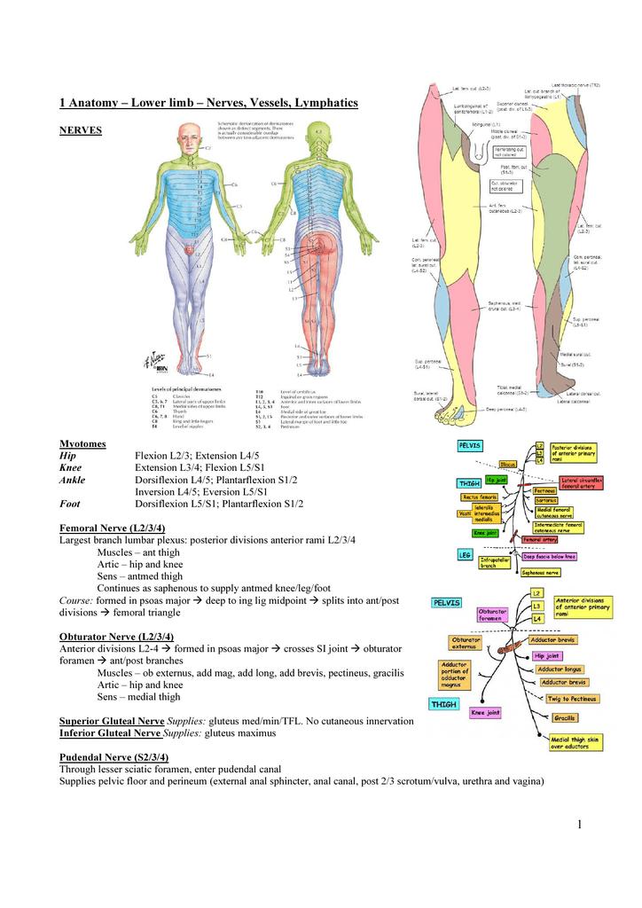 1 1 Anatomy – Lower limb – Nerves, Vessels, Lymphatics