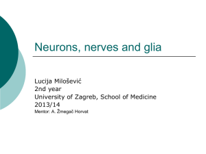 Neurons, nerves and glia