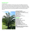 Neodypsis decaryi (Triangle Palm) Size/Shape