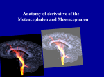 13 Anatomy of the Metencephalon and Mesencephalon