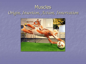 Muscles Origin, Insertion, Action, Innervation