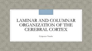 Laminar and Columnar organization of the cerebral cortex