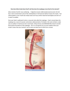How does Saliva break down food? and How does the esophagus