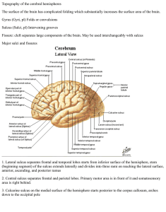 Topography of the cerebral hemispheres The surface of the brain