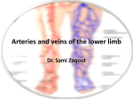 Arteries and veins of the lower limb