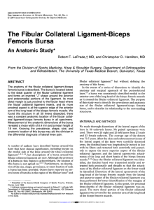 The Fibular Collateral Ligament-Biceps