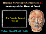 The Posterior Cervical Triangle