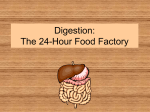 Digestion: The 24-Hour Food Factory