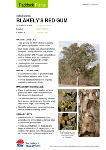 Paddock Plants fact sheet: Blakely`s Red Gum