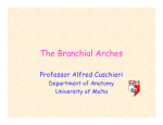 The Branchial Arches - University of Malta