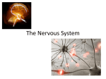 The Nervous System - Centennial Christian School