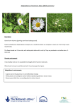 Adaptations of Common Daisy (Bellis perrenis)