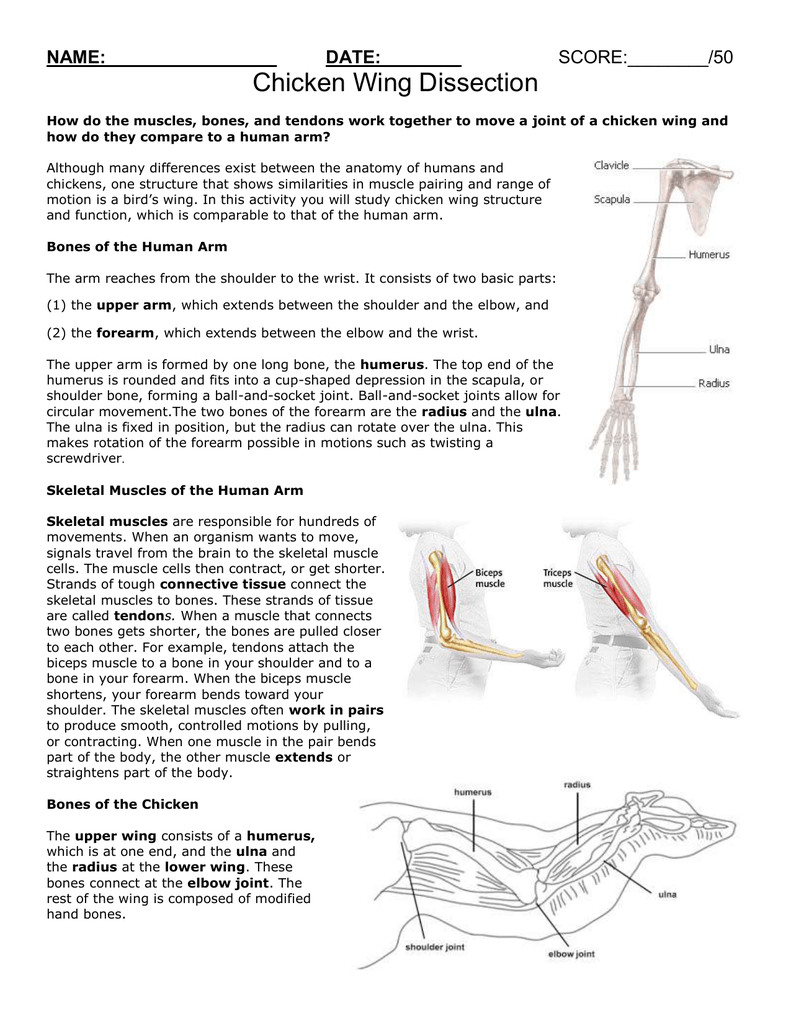 Chicken Skeletal Anatomy Choice Image - human body anatomy