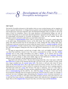 Development of the Fruit Fly