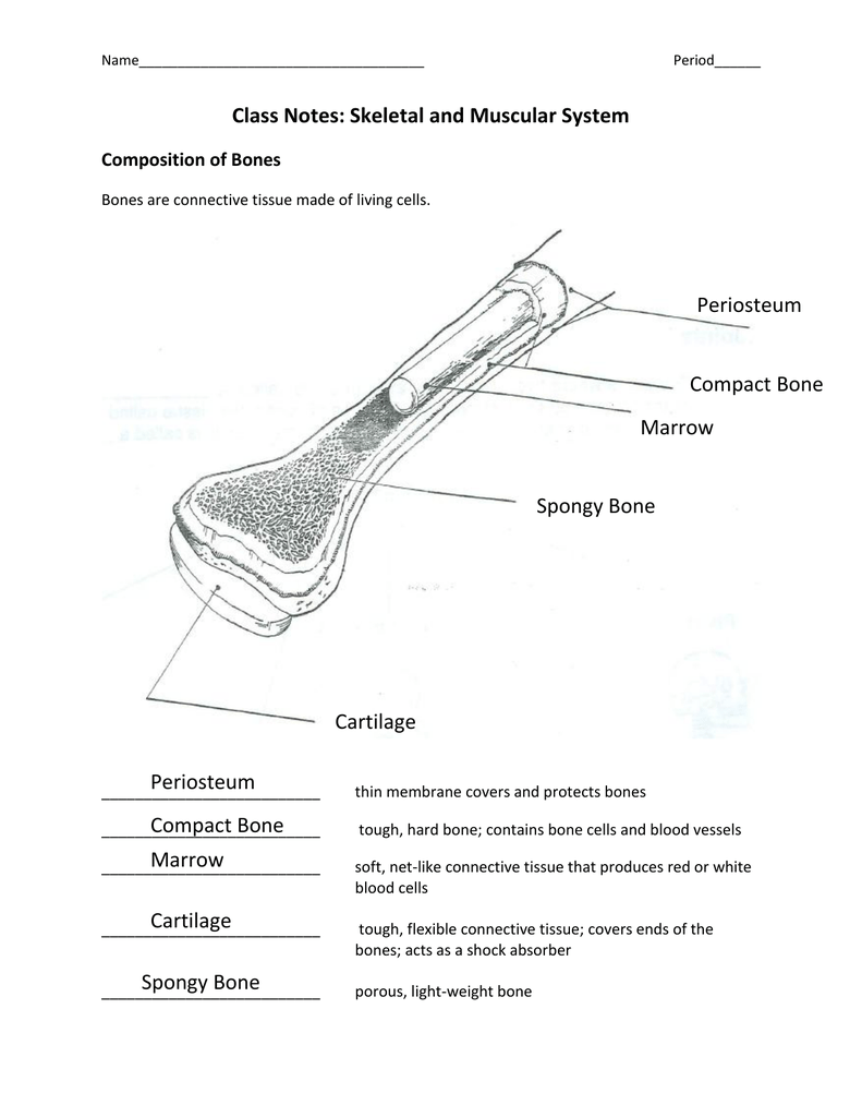 Class Notes Skeletal And Muscular System Periosteum Periosteum