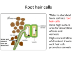 Root hair cells