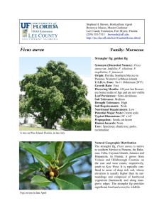 Ficus aurea - Lee County Extension