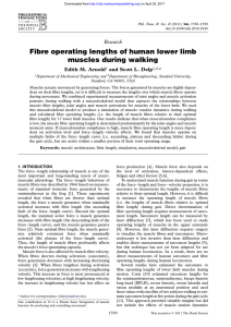 Fibre operating lengths of human lower limb muscles during walking