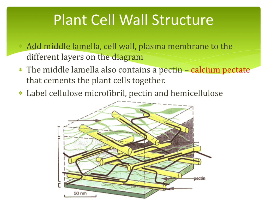 Plant cell wall structure file ccuart Image collections