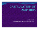 gastrulation of amphibia - Bejoy Narayan Mahavidyalaya
