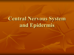 Central Nervous System and Epidermis