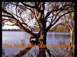 River Red Gum - Our River Our Future