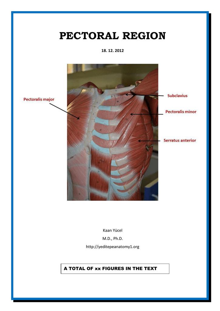Drkaan Ycel Httpyeditepeanatomy1 Pectoral Region