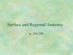 Surface and Regional Anatomy