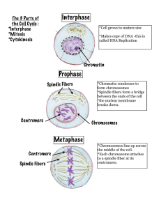 Interphase Prophase Metaphase