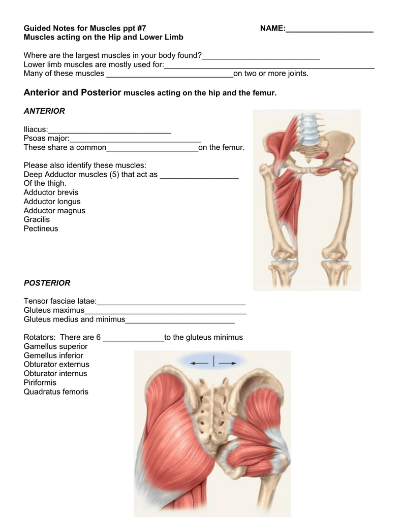 Guided Notes For Ppt 7 Muscles Of The Hip And Lower Limb