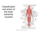 19. Classification and action of the lower extremity muscles