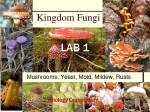 Lab 1:Kingdom Fungi