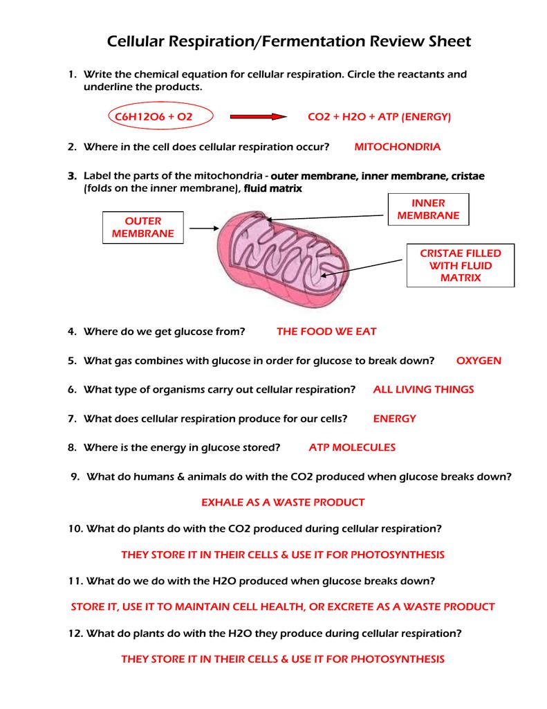 Cellular Respiration Fermentation Review Sheet