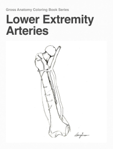 Lower Extremity Arteries