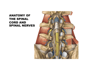 ANATOMY OF THE SPINAL CORD AND SPINAL NERVES
