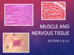 Muscle and Nervous tissue
