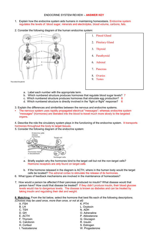 endocrine system review – answer key