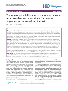 The neuroepithelial basement membrane serves as a boundary and