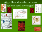 nervous system 2 notes - Hicksville Public Schools
