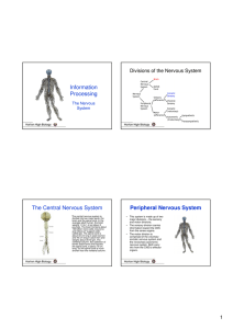 Information Processing The Central Nervous System Peripheral