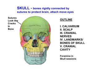 SKULL - bones rigidly connected by sutures to protect brain, attach