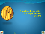 1. Evolution, description and importance of banana