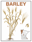 Barley - Minnesota Ag in the Classroom